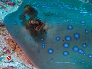 Custom Dive Logs Free Download: blue spotted ray
